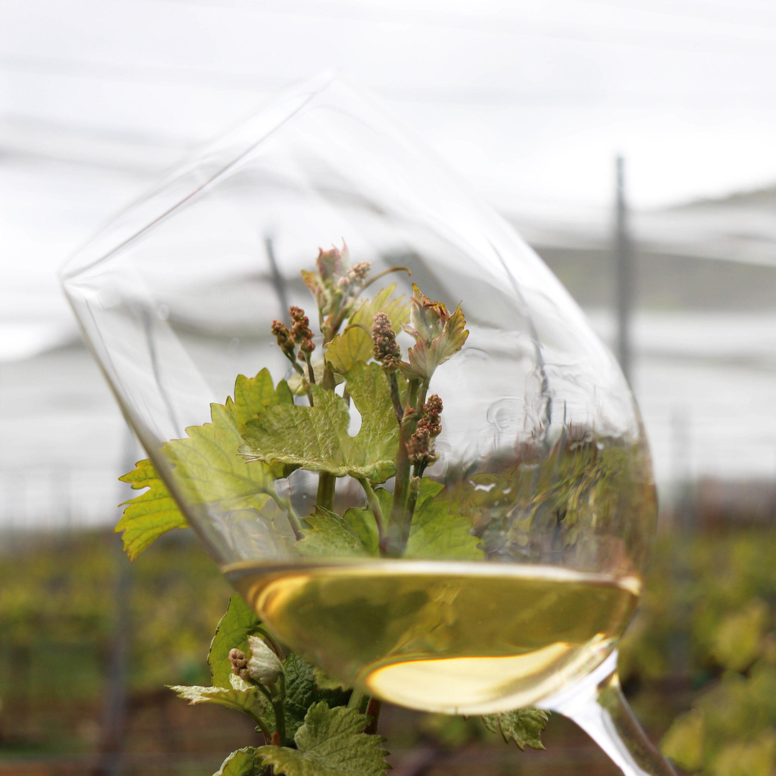 El Vino Blanco es el vino más icónico de la bodega / Bal Minuta